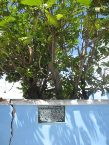 Breadfruit Plant from Captain Bligh's second voyage